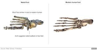 Skeletal Picture Of Foot New Human Like Species Discovered In S Africa Bbc News