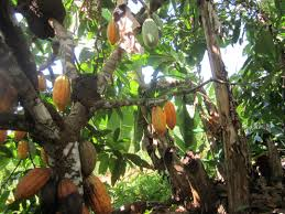 brazil native plants organic cacao farmers help reforest brazil u0027s amazon jungle inter
