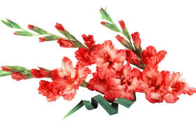 gladiolus flower gladiolus flower its meanings and some interesting fact
