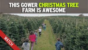 this is where you can cut down your own christmas tree in wales