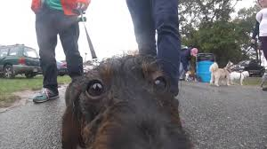 doxie day on cape cod ma 2016 youtube