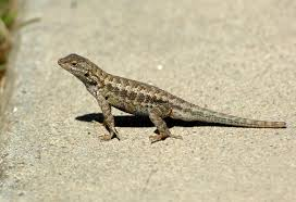 Big Lizard In My Backyard What To Feed A Wild Lizard U2013 The Mercury News