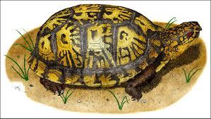 eastern box turtle terrapene carolina carolina line art and full