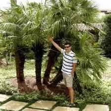 buy european palm trees european palm tree sale find european