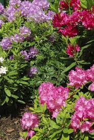 10 Perennials That Thrive In by Acid Loving Plants What Type Of Plants Grow In Acidic Soil