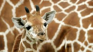 there are four species of giraffe not just one according to new