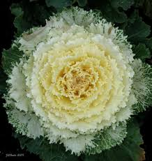 ornamental kale kale cabbage plant and cabbages