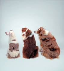 1 australian shepherd three red e e australian shepherd dogs from left to right