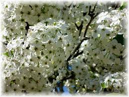 information about bradford pear trees with pictures dengarden