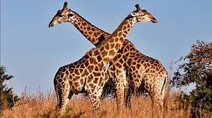 imagenes de amistad jirafas 5 fascinantes curiosidades sobre las jirafas