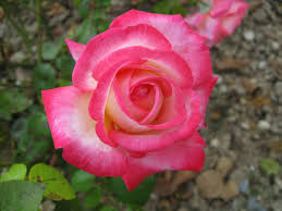 Pictures Of Beautiful Flowers In The World - most beautiful rose flowers wallpapers wallpapersafari