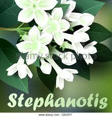 Stephanotis Flower White Stephanotis Flowers Close Up Stock Photos U0026 White