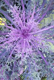 42 best garden ornamental kale images on ornamental