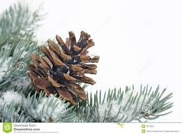 tree bough with cone stock photo image 3522020