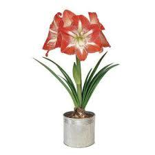 christmas plants poinsettias christmas plants flowers the home depot