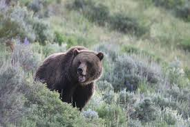 Montana Wildlife Tours images Lamar valley wildlife tours private guided tours of lamar valley jpg