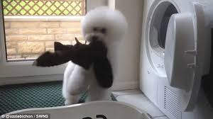 bichon frise and cats ozzie the bichon frise builds up huge following after hilarious