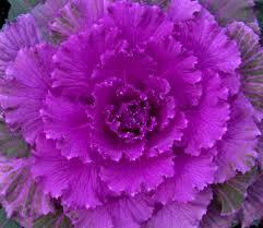 flowering cabbage file ornamental cabbage 3 4125240726 jpg