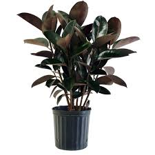 delray plants burgundy rubber plant in 8 75 in pot 10burg the