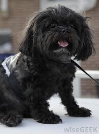 shih tzu with curly hair what is a shih poo with pictures