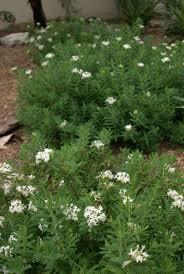 the most poisonous plants in australia hipages com au 10 best garden images on pinterest australian native garden
