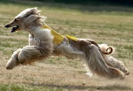 afghan hound breeders europe everything about your afgan hound luv my dogs