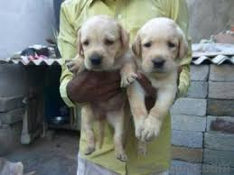 boxer dog quikr quality lab puppies available in lingarajapuram bangalore pets on