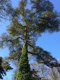 sponsor a tree is back jim cronin memorial fund