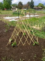 trying out a teepee trellis for cucumbers gardening