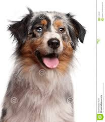 1 australian shepherd close up of australian shepherd dog 1 year old royalty free stock