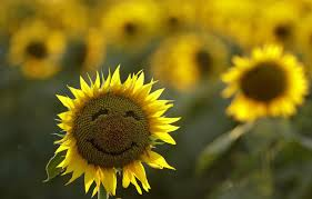 A Smiley Face On A Sunflower In A Field In Lawrence Kansas On
