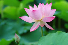 Lotus Flower Parts - national flower of india lotus an essay