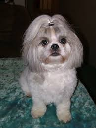 pictures of shih tzu haircuts dennis serls dserls39 on pinterest