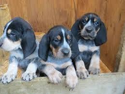 bluetick coonhound nz 2452 best coonhounds u0026 other hounds images on pinterest