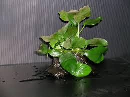 Aquascaping Techniques Aquascaping Proper Techniques For Planting Aquatic Plants