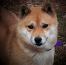 american eskimo dog or puppy for sale in mn shiba inu shiba inu puppies home raised excellent health