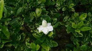 file cape jasmine gardenia jasminoides u0027variegata u0027 2 jpg