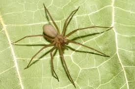 Brown Recluse Map 2 Huntsville Firefighters Bitten By Brown Recluse Spiders Station