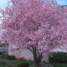 7 inexpensive ornamental trees lawn landscape