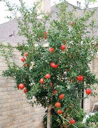fruity pomegranate tree in the backyard growing pomegranate