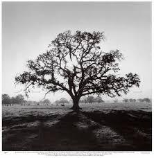 oak tree search ink oak tree oak
