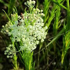 native prairie plants illinois monarch butterflies tuesdays in the tallgrass