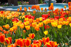 thanksgiving point s tulip festival world flowers