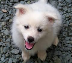 american eskimo dog maintenance 54 best dogs images on pinterest puppies huskies puppies and