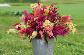 celosia flower pas plume celosia seed johnny s selected seeds