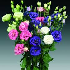 Lisianthus Lisianthus Double Mixed Pohlmans Phone 07 5462 0477
