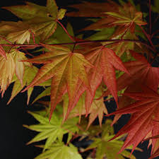 how to planting and caring for japanese maples wayside gardens
