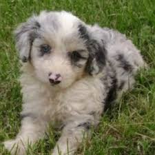 australian shepherd facts aussiedoodle dog breed information and facts