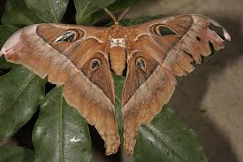 oak silk moth animal crossing wiki fandom powered by wikia