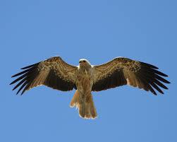 Bird Wing - bird identification kimberley pryor